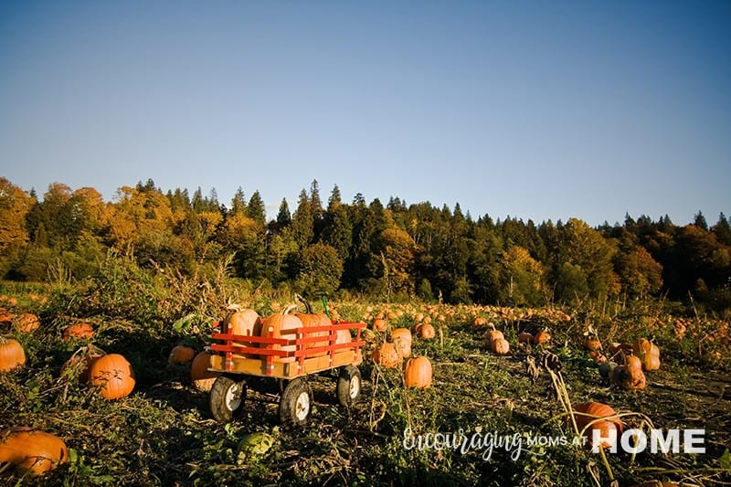 Pumpkins in field.